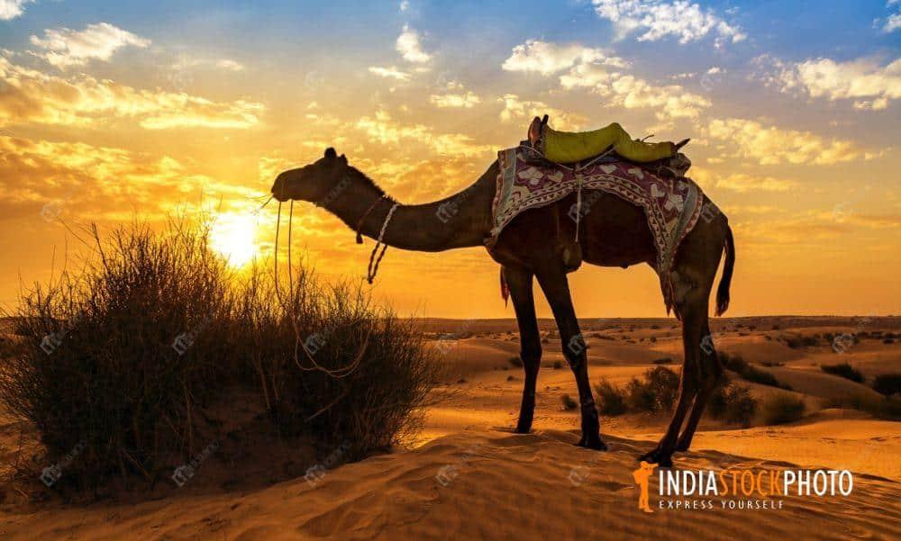 Camel At The Thar Desert Jaisalmer Rajasthan At Sunset ...